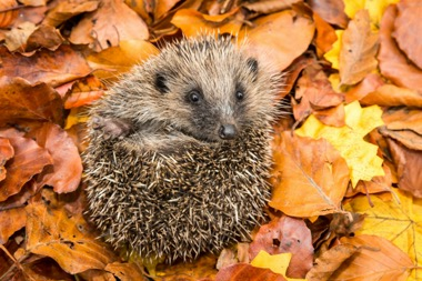hedgehog covered by autumn foliage